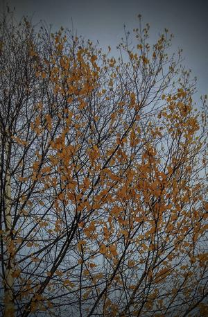 Några löv kämpar in i det sista innan vinterkylan tar över.