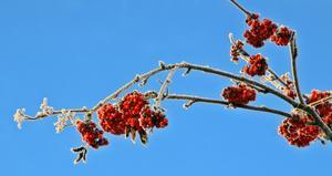 Vackra rönnbär en solig och frostig vinterdag mot en klarblå himmel.