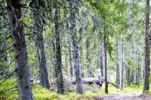 Hällberget, en skog i närheten av de planerade reservaten i Offerdal.