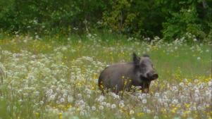 Ett betande vildsvin på en äng i Bockhammar.