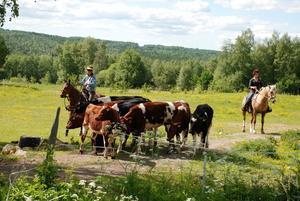 Kodrivning. Ledaren Carina Waxell, tv, instruerar kursdeltagarna hur det ska gå till att driva kor genom en öppen grind.