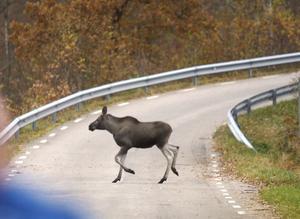 Enligt Claes Lundström är alla vägar utan viltstängsel att beteckna som riskområden för olyckor. Då bör man som trafikant vara extra uppmärksam.