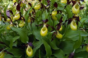 Stor grupp. Den största gruppen med guckusko i Risshytte hage har ett 50-tal blommor.