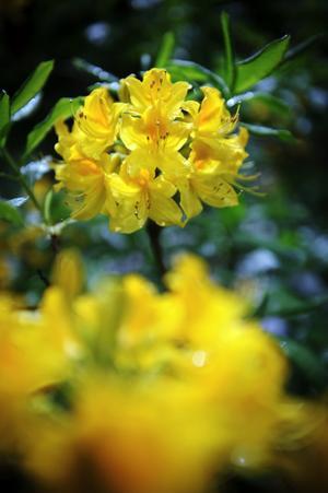 Rhodedenron. Flera sorters rhododendron finns i trädgården. Detta är en luteum, vilket berättar att den är gul. Den såddes av Göte 1972.