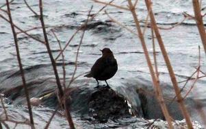 Strömstaren balanserar på hala stenar och iskanter i sin jakt på föda i Ljusterån.