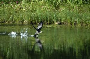 Flyger iväg. Här lyfter skarven från Dalsbysjön och ger sig ut på en flygtur. Foto:Roland Berg