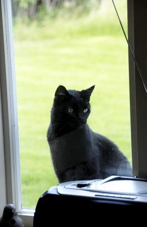 Nicke har hela sommaren varit van att kliva in genom fönstret i köket. Nu är det stängt.