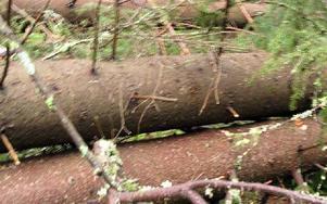Tjocka trädstammar låg som plockapinn.