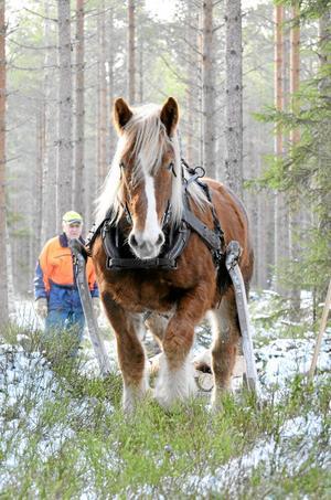 Urstark. Det mesta följer med när Emelia tar i. Ardenner- hästar orkar dra sex ton, berättar Tobias Andersson (skymd av hästen), här med pappa Torsten Jernberg vid sin sida.