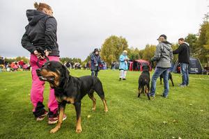 Yvonne Brink bedömer hundar av rasen Rottweiler.