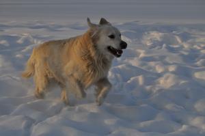 Min hund Zigge älskar att springa i snön :)