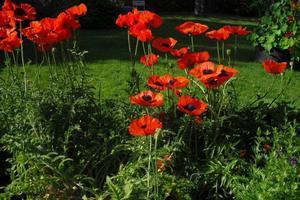 Mina 50 vallmo i min trädgård i full blom. Vackra att titta på och det tycker även grannarna.
