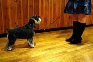 Dvärgschnauzern Holly tränas av Annelie Ridderlind inför framträdandet på scenen där domaren ska göra sitt val mellan henne och ytterligare en hund.Hunden ska själv ställa sig med vikt på alla fyra ben när den visar upp sig, berättar Susanne Lexelius, som äger Holly.Foto: Henrik Flygare