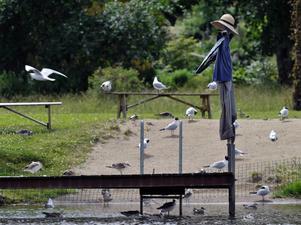 Det verkar som att fågelskrämman inte har avsedd effekt