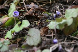 Årets första blåsippa (Hepatica nobilis).  Vilt växande på min naturtomt på Tidö-lindö. Inom några veckor får den sällskap av flera hundra nya blåsippor. Därefter kommer ytterligare flera hundra vitsippor (Anemone nemorosa) och tar över marken. Foto: Peter Carlin