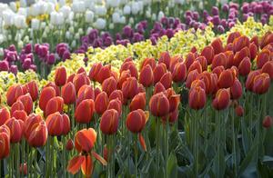 Parken Keukenhof i Lisse i Holland är den mest kända och färgglada vårattraktionen i Holland. I hela femtio år har flera miljoner besökare upplevt denna fest för ögat: slingrande stigar, porlande bäckar, fridfulla dammar och ett överflöd av vackra blommor.
