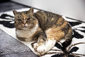 Vad Sessan gjort under sina drygt tio år borta från familjen Holmbom är det ingen som vet, men hon är i gott skick, till och med lite överviktig.