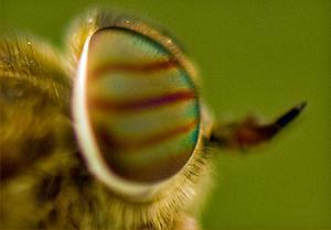 Sommarens plåga, Bromsen, har även den sina goda sidor.Den har vackra ögon om man kommer nära.Fotad i somras