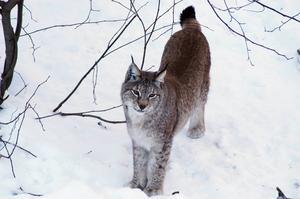 Lodjur och deras ungar kan inventeras med hjälp av kameror om det inte finns snö så att man kan spåra dem.