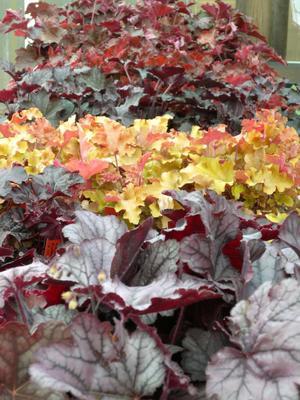 Alunrot finns i många färgersättningar och storlekar och ger glädje långt in på hösten.