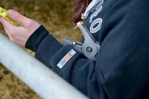 Med tången under armen och de gula nummerbrickorna i handen är det dags för märkning av kalvar.