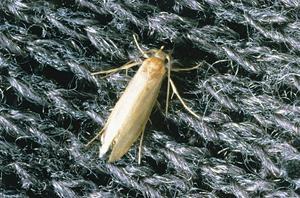 En fullt utvecklad malfjäril har cirka 12 till 14 millimeter mellan vingspetsarna-