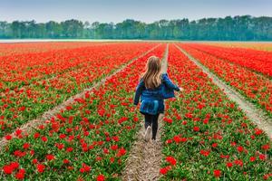 Holländska blomsterfält gör gammal som ung glad.   Foto: Anna Nahabed/Shutterstock.com