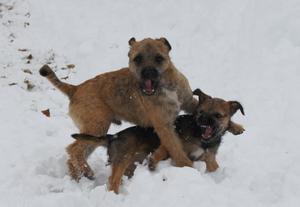 Det är jättekul att leka i snön. Valparna Caliber och Ballerina busar i snö för första gången.