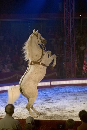 Den vackra vita araben går på bakbenen tvärs över hela cirkusmangen.