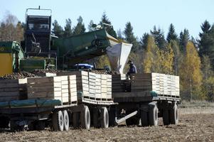 Potatisen fyller snabbt upp de stora potatislådorna.