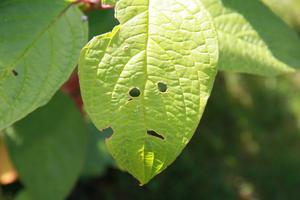 När vi höststädade i trädgården kom min 4 åriga son och sa att det var en gubbe i busken. Tur att det bara var ett löv!