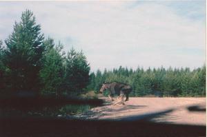 Som passagerare med kameran i beredskap, på en skogsbilvägutanför Ockelbo. Älgen dök upp nära bilen och fångades hängande i luften.