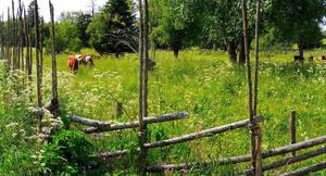 Semestrande kor i sommarhagen.