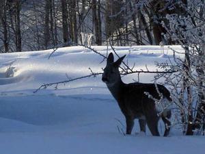 Skickar en fin bild tagen intill husknuten där jag bor i Skanderåsen den 1 feb 2009. -25 grader ute och strålande sol, rådjuren letar mat för fullt...