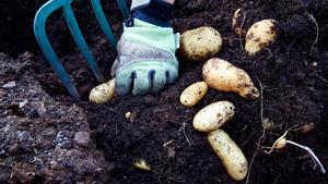 Behöver ombyte. Potatis är så känslig för sjukdomar att den inte ska växa på samma plats på fyra år och odlas i en egen ruta.
