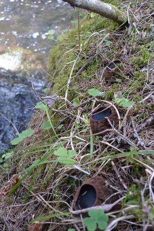 Bombmurklorna våxer oftast i närheten av något vattendrag.