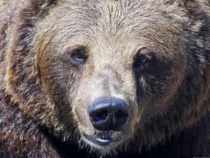 Lite förundrad blir jag över att björnarna inte gav sig av eller varnade när de såg en människa. De ser dig långt före att du ser dem och kan riva och slita i ett träd som varningstecken, skriver Eric.
