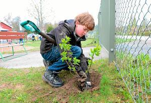 """Planterar häck. Sammanlagt 88 syrénplantor ska i jorden. """"Det kommer att bli en lång häck här"""", konstaterar Bruno Rottier Sterck, elev på Järnboås skola."""