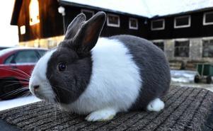 Det här är en av Hanz Johanssons alla kaniner. Rasen heter Holländsk kanin. De ska alltid vara tvåfärgade och för att få höga poäng på utställning är det noga att färglinjerna är perfekta.