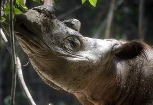 Sumatranoshörningen är en av de mest hotade arterna på jorden. Den har drivits till utrotningens rand på grund av jakten efter dess horn. Djuret på bilden är fotograferad i ett hägn på Sumatra.