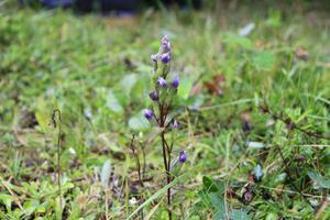 Omkring Hassela och i närheten av Gnarp finns det flera platser där fältgentianan växer.