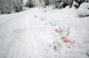 Blod i snön där vargen träffades.
