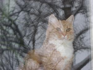Honey sitter innanför fönstret. Hennes stora klätterbjörk speglar sig i rutan.Det är lite kallt att vara ute. Jag tror hon drömmer om våren.....