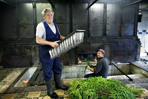 Den kände Gävlefiskaren Lasse Berglund i Böna rökeri med fisken som befinner sig i skärningspunkten mellan Fiskeri- och Livsmedelsverket, mellan Sverige och EU: strömmingen.