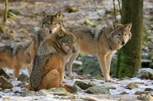 Här ses några av de vargar ur flocken som avlivades under lördagen.