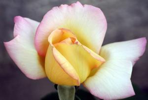 upptäckte denna underbara ros av en slump i dag och kunde inte låta bli att fotografera den.