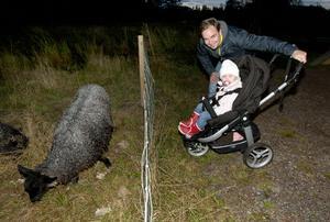 Ludvikabon Jonas Anderssons dotter Timja, 1,5 år, tyckte det var intressant med fåren