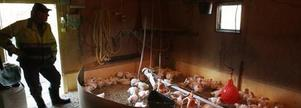 Ockelbokycklingarna gillar att tränga ihop sig i små flockar. Stora delar av golvet lämnas öppet.