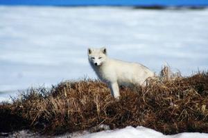 Den internationella naturvårdsunionen, IUCN, har valt ut tio arter som på sikt kommer att påverkas allvarligt av ett varmare klimat. Fjällräven är en av arterna. IUCN sammanställer listorna över hotade arter i världen.   Foto: Lars Liljemark