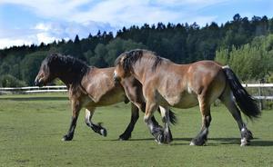 Nordsvenska brukshästar som har varandras sällskap.